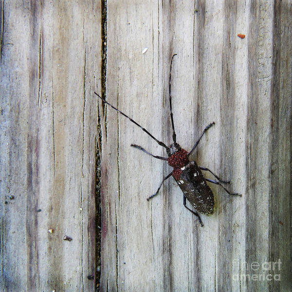 Photograph - White Spotted Sawyer Beetle by Amy E Fraser