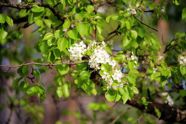 Photograph - White Spring Blossoms by Cynthia Guinn