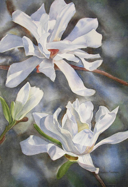 Freeman Wall Art - Painting - White Star Magnolia Blossoms by Sharon Freeman