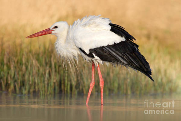 Nest Wall Art - Photograph - White Stork, Ciconia Ciconia, In The by Ondrej Prosicky