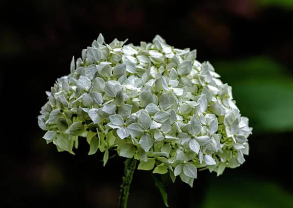 Photograph - White Summer Flower by Robert Ullmann
