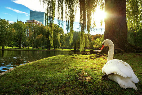 Swan Boats Photograph - White Swan In Lake  by Anek Suwannaphoom