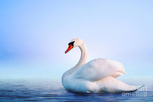 Swan Photograph - White Swan In The Foggy Lake At The by Dima Zel