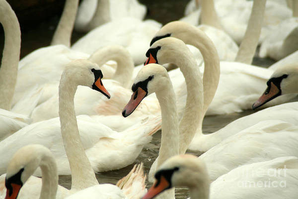 Waterfowl Wall Art - Photograph - White Swans On A Canal In Stratford by Paul Banton