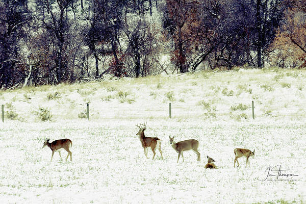 Photograph - White Tail Deer by Jim Thompson