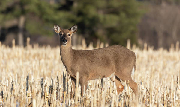Photograph - White-tailed Deer 2019-1 by Thomas Young