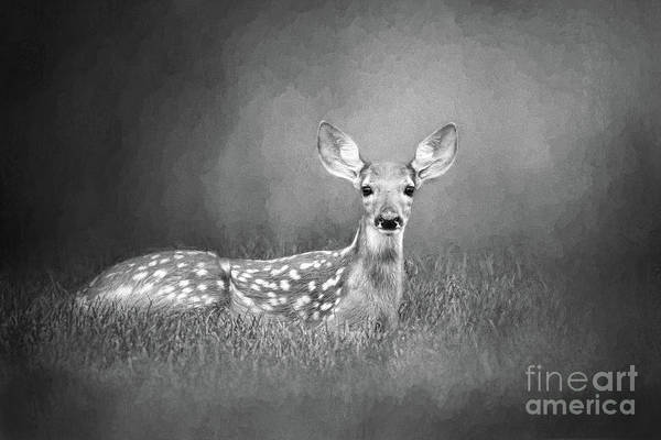Wall Art - Digital Art - White Tailed Deer Fawn Black And White by Sharon McConnell