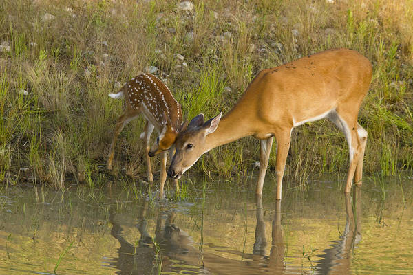 Wall Art - Photograph - White-tailed Deer, Mother And Fawn by Linda Arndt
