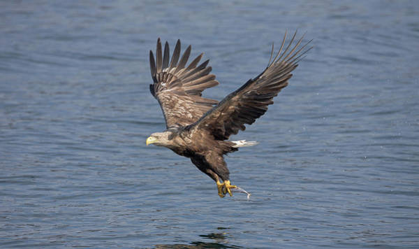 Photograph - White-tailed Eagle Carries Fish by Peter Walkden