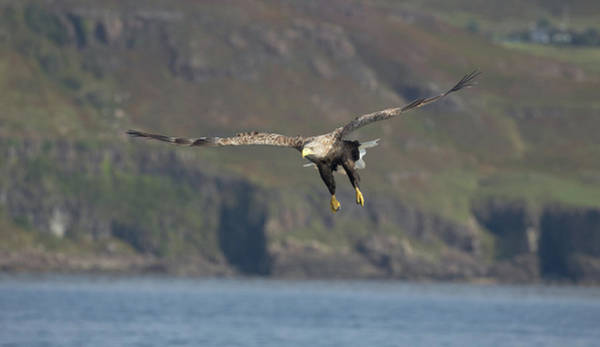 Photograph - White-tailed Eagle Coming Down by Peter Walkden