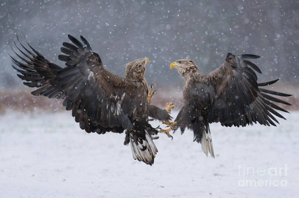 Wall Art - Photograph - White Tailed Eagle Haliaeetus Albicilla by Piotr Krzeslak