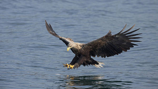 Photograph - White-tailed Eagle Hunting by Peter Walkden
