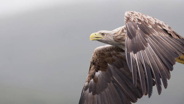 Photograph - White-tailed Eagle In Flight by Peter Walkden