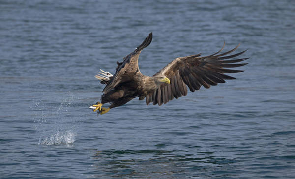 Photograph - White-tailed Eagle Making A Splash by Peter Walkden