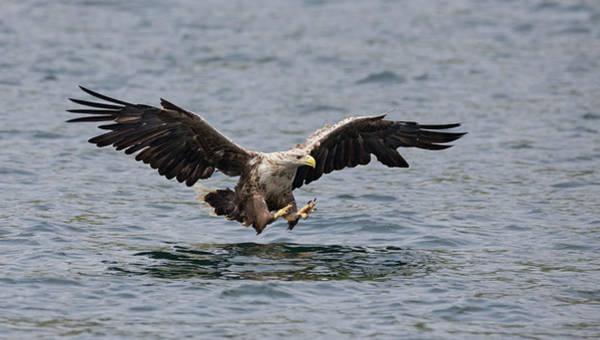 Photograph - White-tailed Eagle Over Water by Peter Walkden