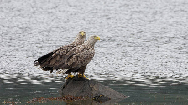Photograph - White-tailed Eagle Pair by Peter Walkden