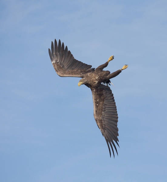 Photograph - White-tailed Eagle Turns by Peter Walkden