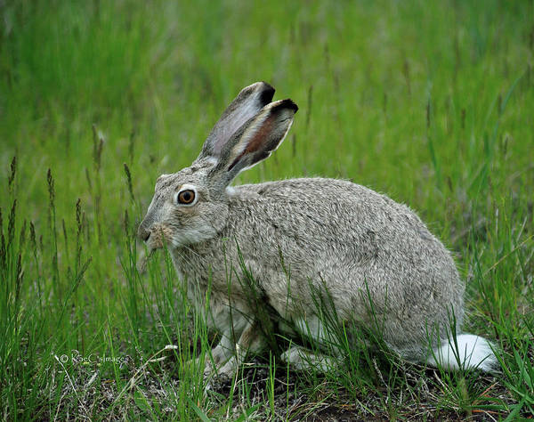 Photograph - White Tailed Jackrabbit Adult by Kae Cheatham