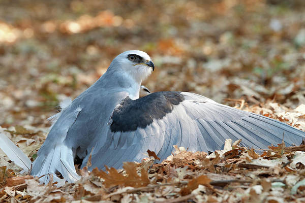 White-tailed Kite Photograph - White Tailed Kite Captures Prey by Sheila Fitzgerald