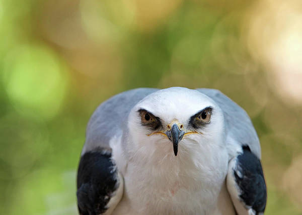 White-tailed Kite Photograph - White Tailed Kite Glaring At Viewer by Sheila Fitzgerald