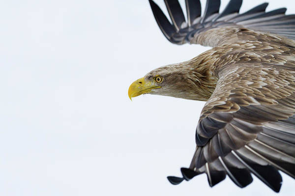 Flying Eagle Photograph - White-tailed Sea Eagle by Jeremy Woodhouse