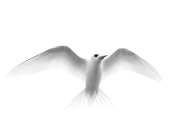 Wall Art - Photograph - White Tern Gygis Alba In Flight, Midway by Danita Delimont