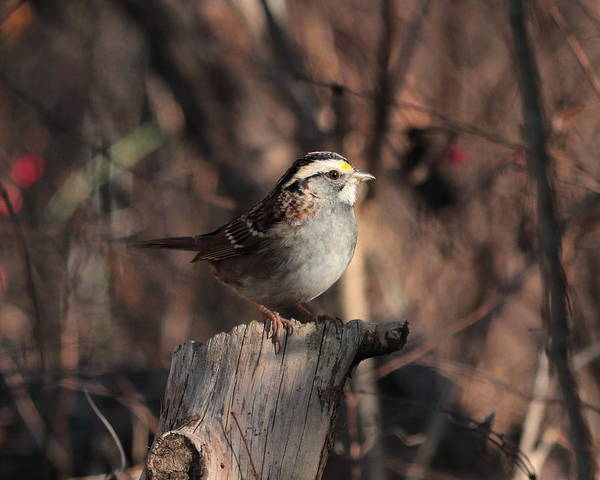 Photograph - White-throated Sparrow 4386 by John Moyer