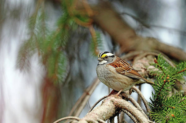 White-throated Sparrow Photograph - White Throated Sparrow In Spruce Tree by Debbie Oppermann