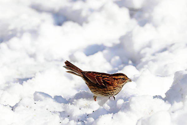 White-throated Sparrow Photograph - White Throated Sparrow In The Snow by Debbie Oppermann