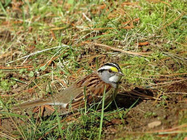 Wall Art - Photograph - White-throated Sparrow by Lyuba Filatova