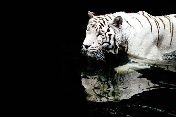 Wade Photograph - White Tiger In Water by Carlina Teteris