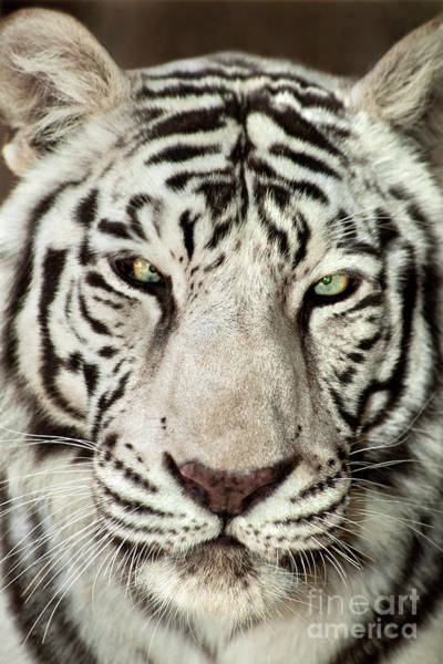 Photograph - White Tiger Panthera Tigris Endangered Wildlife Rescue by Dave Welling