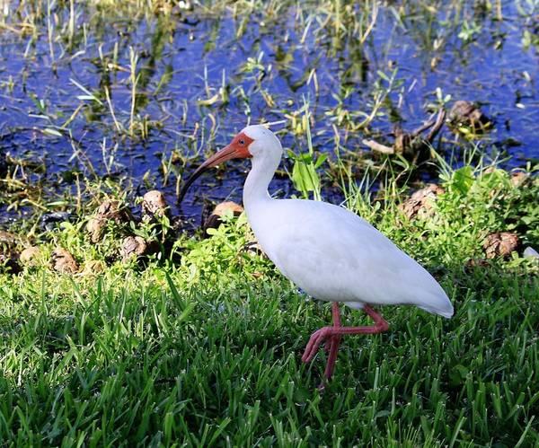 Photograph - White Tropical Bird by Philip Bracco