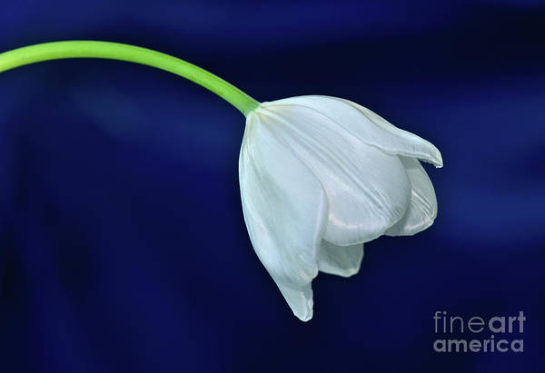 Wall Art - Photograph - White Tulip On Blue By Kaye Menner by Kaye Menner
