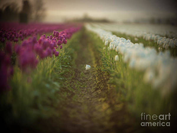 Wall Art - Photograph - White Tulip Solitary Standout by Mike Reid