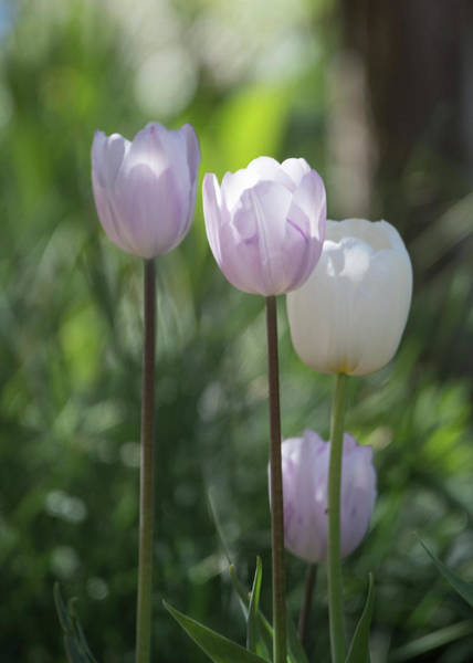 Wall Art - Photograph - White Tulips  by Catherine Lau