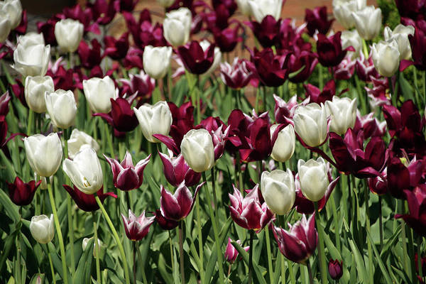 Photograph - White Tulips by Mike Murdock