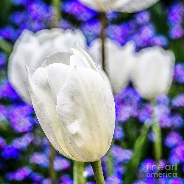Photograph - White Tulips by Nigel Dudson
