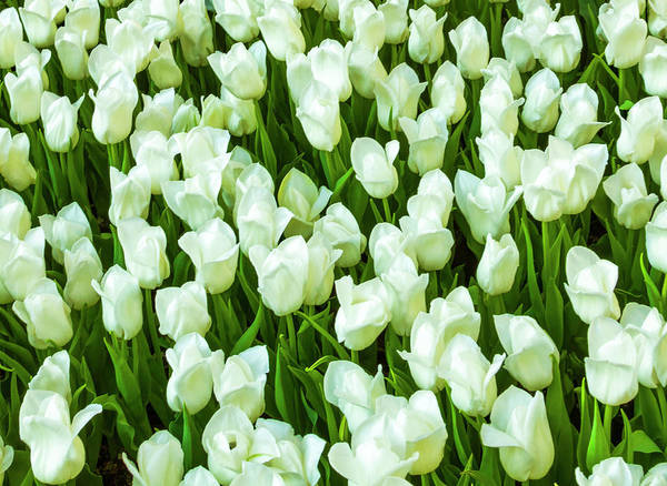Photograph - White Tulips On Green by Bonnie Follett