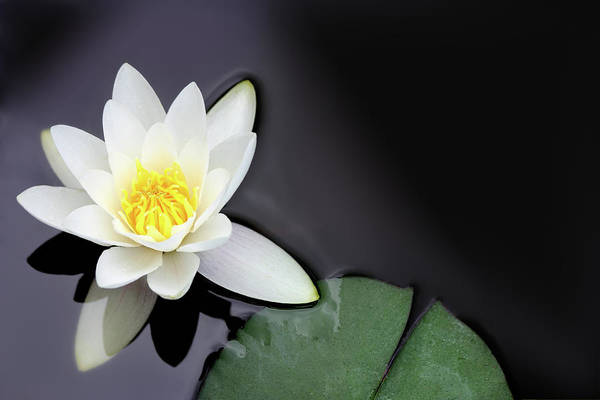 Blossom Photograph - White Water Lily Nymphaea Alba Floating by Seraficus