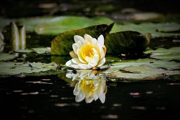 Wall Art - Photograph - White Water Lily Reflection by Mary Ann Artz