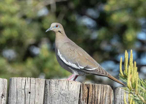 Photograph - White Winged Dove by Steven Natanson
