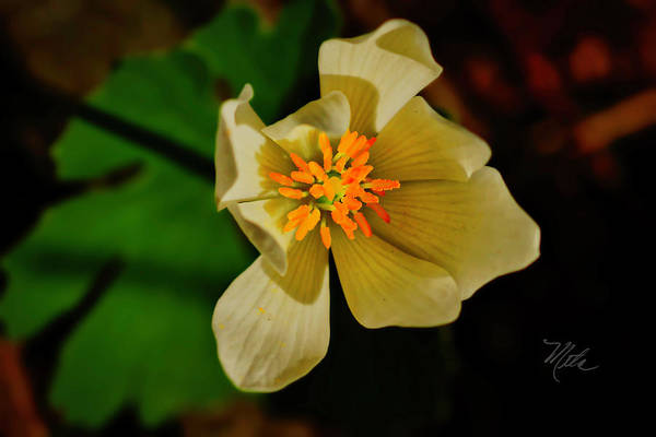 Photograph - White Yellow Flower by Meta Gatschenberger
