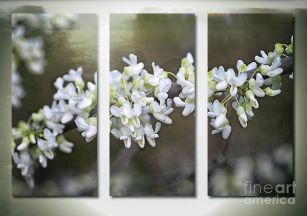Photograph - Whitebud Triptych by Ann Jacobson