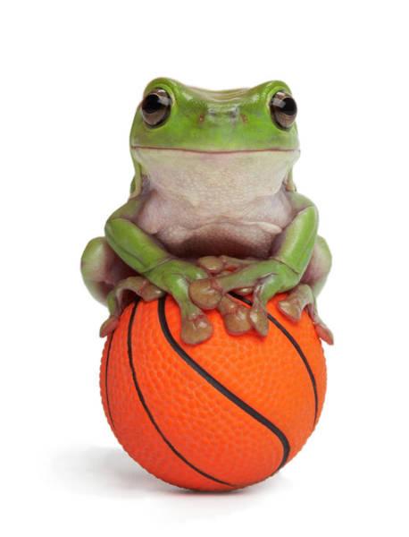 Scale Photograph - Whites Tree Frog On Small Basketball by American Images Inc