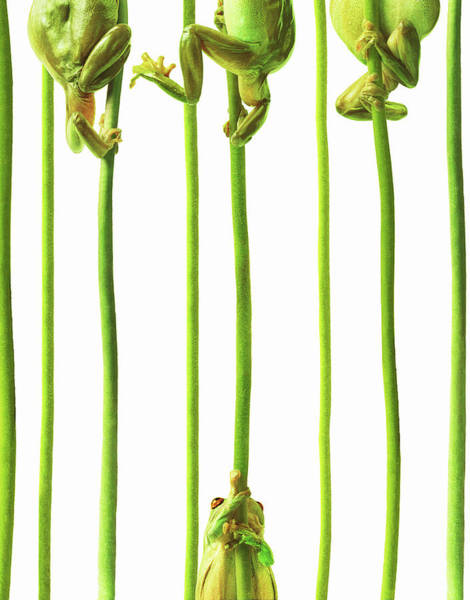 Frog Photograph - Whites Tree Frogs Climbing Plant Stems by Gandee Vasan