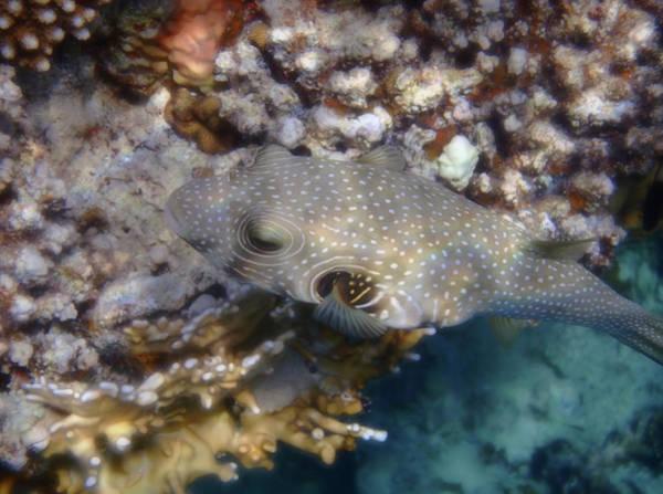 Photograph - Whitespotted Pufferfish_arothron Hispidus by Johanna Hurmerinta