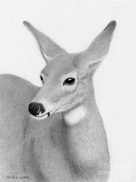 Whitetail Drawing - Whitetail Beauty by George Sonner