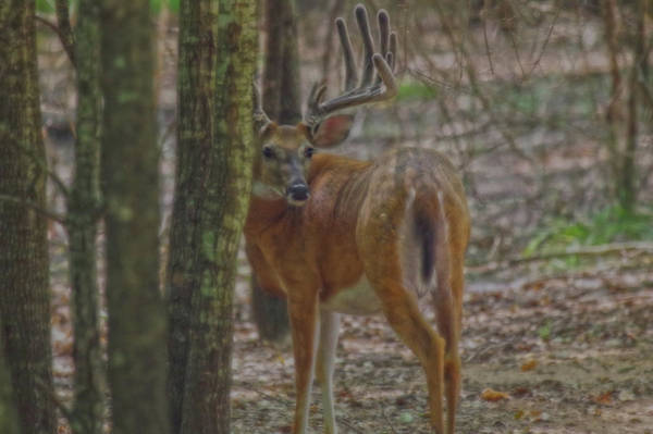 Photograph - Whitetail Buck In Woods by Amanda Smith