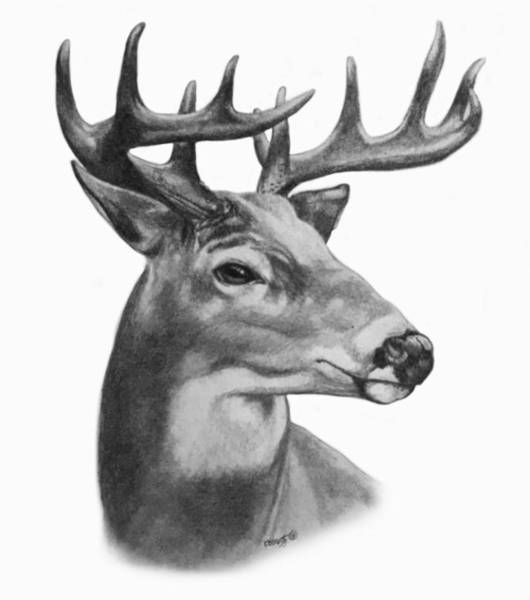 White Tailed Deer Drawing - Whitetail Buck Portrait by Kassidy Bonertz